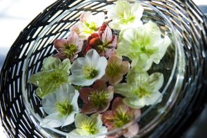 Hellebore grown in our garden...